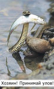 Идеальный симбиоз между природой и человеком: дрессированный уж для рыбалки